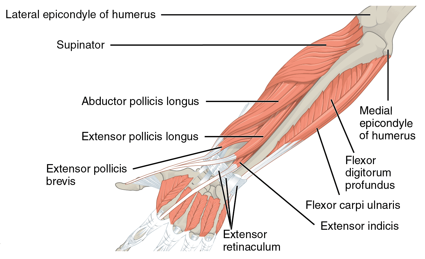 Muscles of the forearms